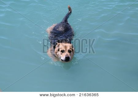 German Shepard swimming