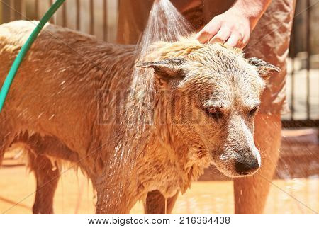 Miserable brown dog while grooming. Shepherd do not like take bath on sunny day