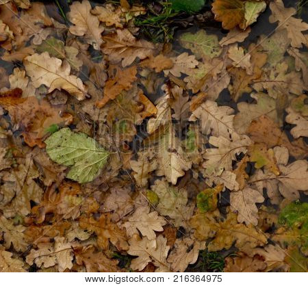 Submerged Autumn oak leaves in flood water