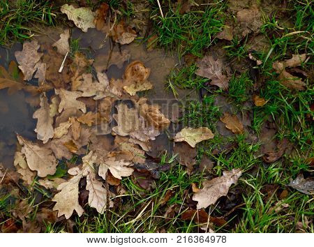 Autumn oak leaves submerged in flood water