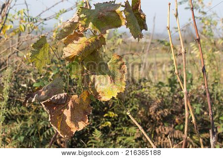 Vine with green and yellow leaves on background of blue sky in sunny day. grape leaf autumn