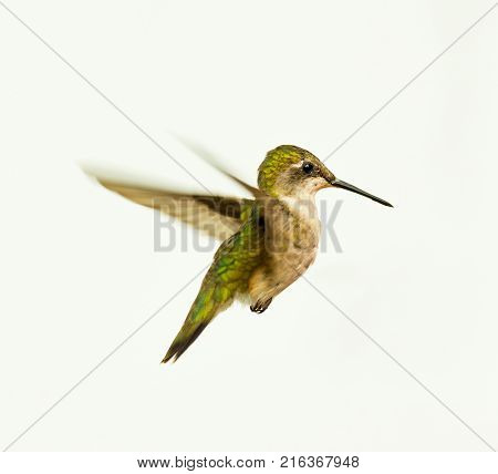 Ruby Throated Hummingbird in flight, isolated on a white background.