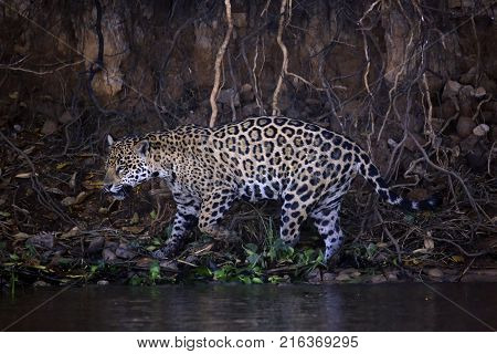 Jaguar Scounting along the River Bank Pantanal Brazil