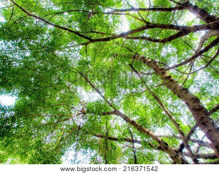 Sunlight Sifting Through The Leaves Of Banyan Trees
