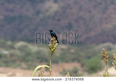 Greater Blue-eared Glossy-starling (lamprotornis Chalybaeus)