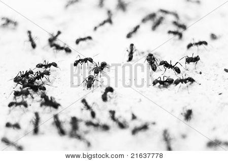 Ameisen In schwarz und weiß