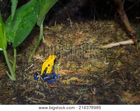 Poisonous dart frog among lush tropical greenery