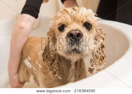 Wet dog. American cocker spaniel in the bathroom. Dog looks at the camera.