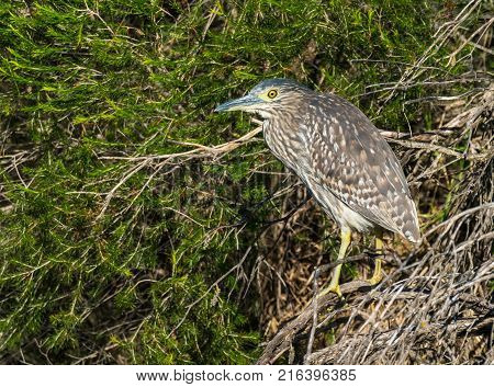 A Nankeen Night Heron perched on a tree at Herdsman Lake in Perth, Western Australia.