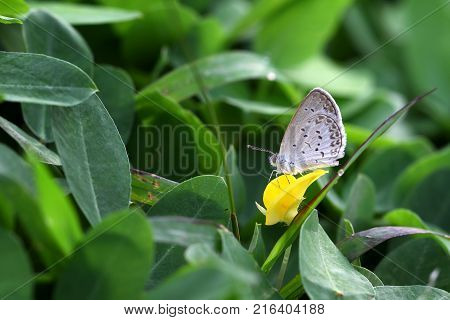 Butterfly Zizina otis indica/Lesser Grass Blue sits on the yellow flower (Arachis pintoi)