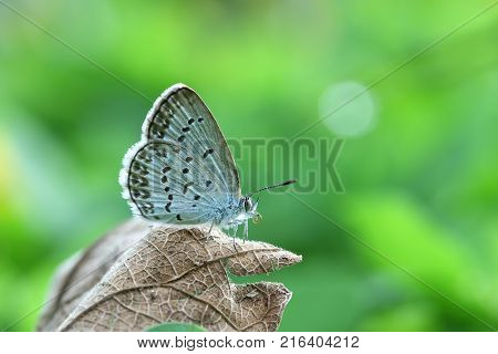 Butterfly Zizina otis indica/Lesser Grass Blue sits on the brown dry leaf with green background