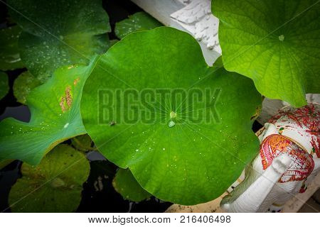 Fly on the lotus leaf with the droplet of water feel peaceful