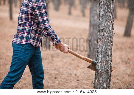 A woodcutter in a blue checkered shirt and blue trousers cuts down a pine forest. Outdoors.