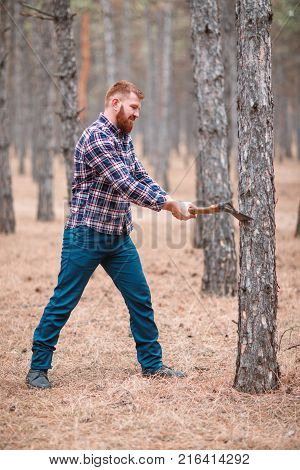 A woodcutter with red hair and a thick beard chopped a pine in the forest. Outdoors.