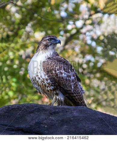 Red tailed hawk in Central Park NYC.