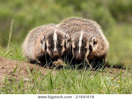 Two little Badger Siblings