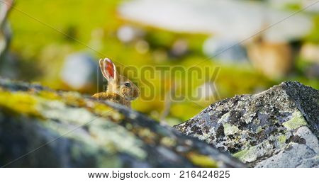 Cute rabbit in fall sitting in grass behind stones. European rabbit or common rabbit, Oryctolagus cuniculus, hidden grass. Morning sun.