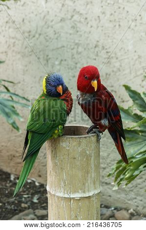 Two multi-colored exotic Rainbow Lorikeet parrot close-up