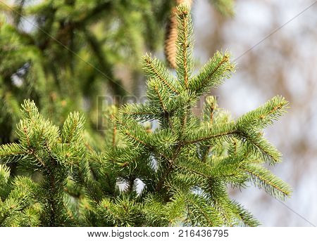 green fir tree in nature . In the park in nature