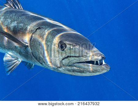 Big Barracuda is in The Indian Ocean, Maldives