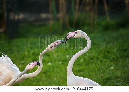 Pink Greater Flamingos Playing On Green Grass (phoenicopterus Ruber)