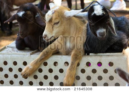 Three Baby Goats on a Crate