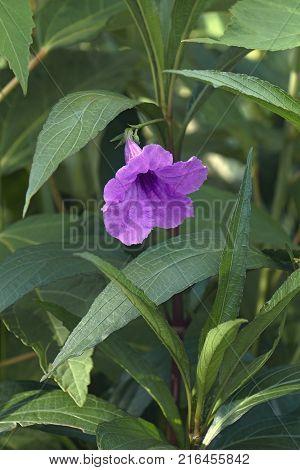 Britton's wild petunia (Ruellia simplex). Called Mexican petunia and Mexican bluebell also. Synonym: Ruellia brittoniana