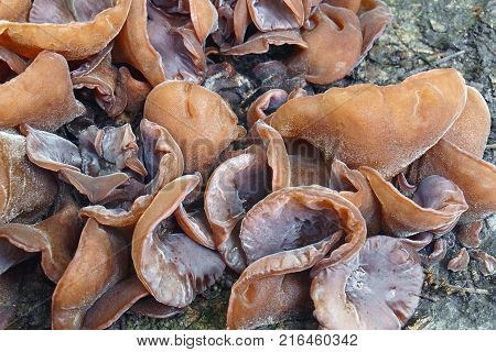 Jelly ear (Auricularia auricula-judae). Called Wood ear Jew ear Judas's ear and Tree ear also