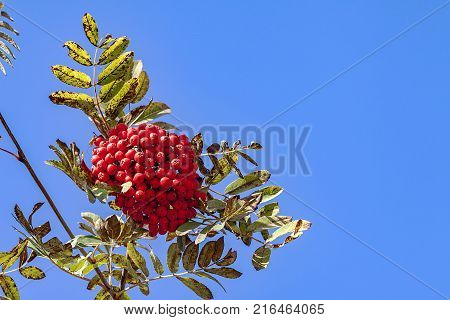 Branches of mountain ash rowan with bright red berries against the blue sky background