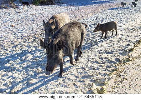 Wild Pigs Family Walk On Sea Beach Sands, Read Sign