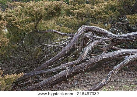 Savin juniper (Juniperus sabina). Called Savin also