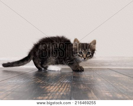 timid little kitten. Cat gray striped standing on the floor. Background white wall