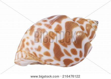 Sea shell of marine snail isolated on white background close up