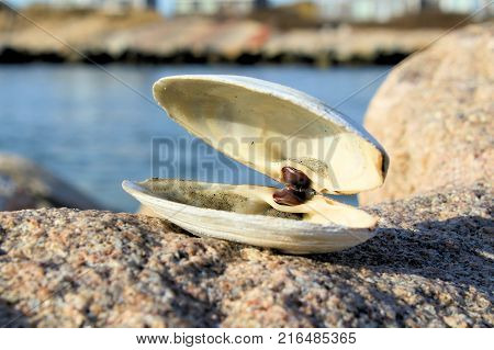 Large intact sea clam shell sitting on a rock jetty on a sunny day.