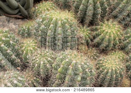Some small green cactus plants with many thorns.