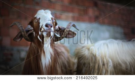Brown goat looking to above - Close up animal portrait