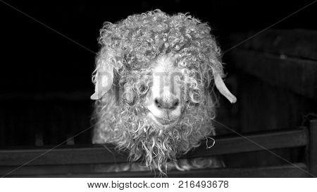 Black and white portrait of Angora Goat
