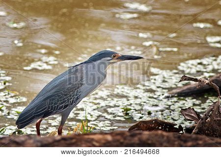 Squacco Heron (Ardeola ralloides) with a shadowy lake background next to a tree root in South Luangwa Zambia
