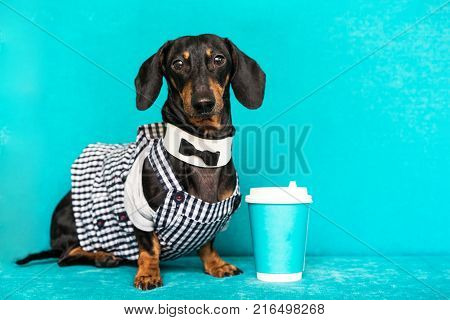 dachshund barista giving coffee cup on a turquoise background