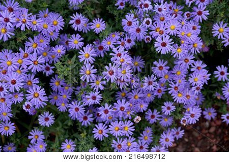 Late autumn flowers under aster new Belgian name