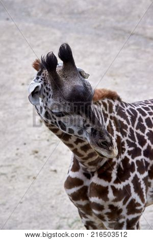 Spotted Giraffe standing outside looking around enclosure