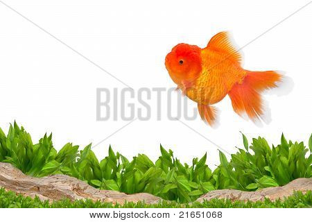 Aquarium Background And Gold Fish