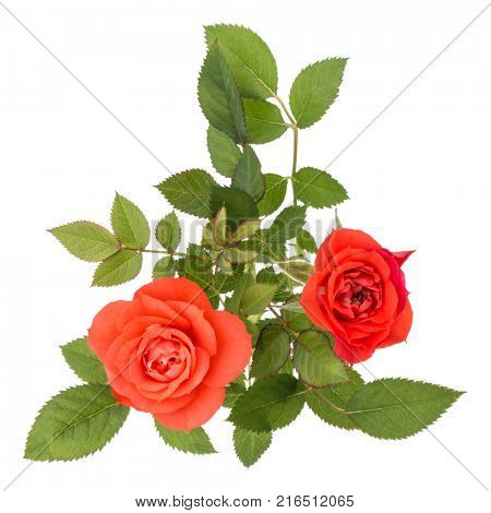 orange rose flower bouquet with green leaves isolated on white background cutout