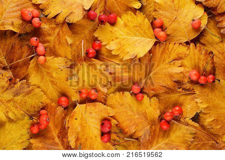 Hawthorn autumn leaves and berries for background