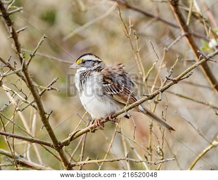 A White-Throated Sparrow (Zonotrichia albicollis) perches in a bare branch as a breeze ruffles its feathers, facing left, in Gettysburg, Adams County, Pennsylvania USA.