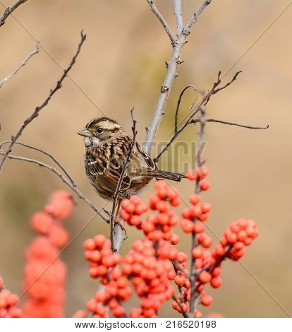 A White-Throated Sparrow (Zonotrichia albicollis) perches in a bare branch above bright red berries, facing left, in Gettysburg, Adams County, Pennsylvania USA.