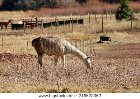 Llama enjoying sunshine at a ranch in Durango, CO