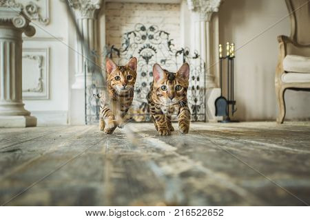 Two bengal kittens runing at camera in studio