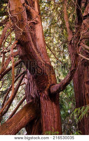 Gnarled tree trunks near Forks WA after a rain