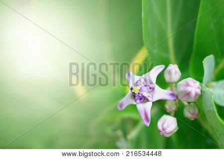 Calotropis gigantea or purple crown flower of bouquet of light with warm comfortable morning.Giant Milkweed FlowersFlower of love .
